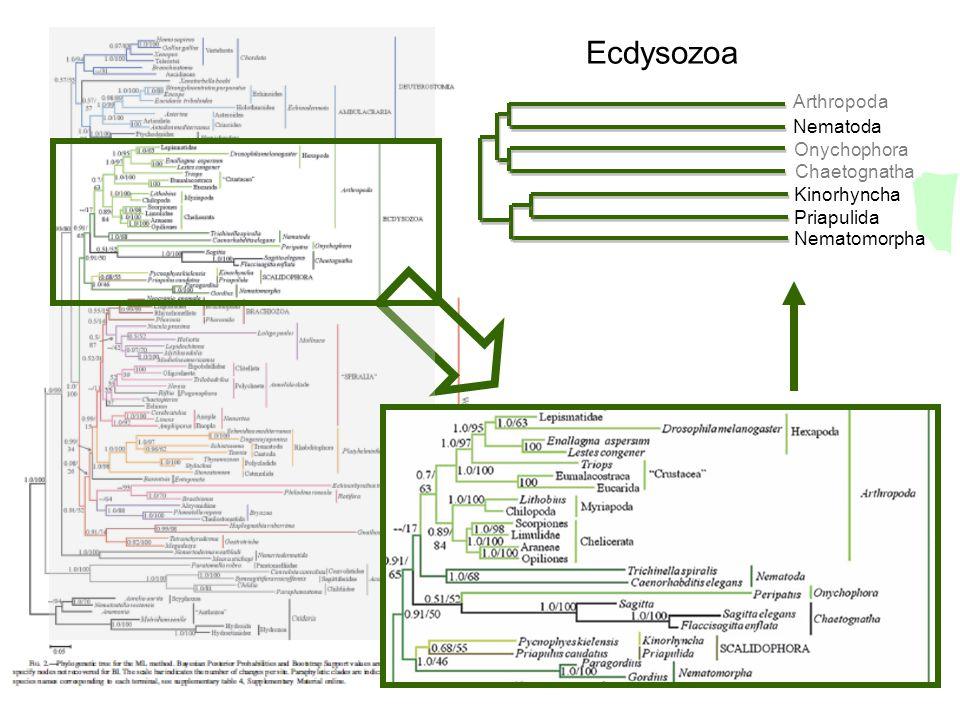 Panarthropoda klád: (Tardigrada (Onychophora+Arthropoda)) apomorfia: szelvényenként eredő láb-idegek