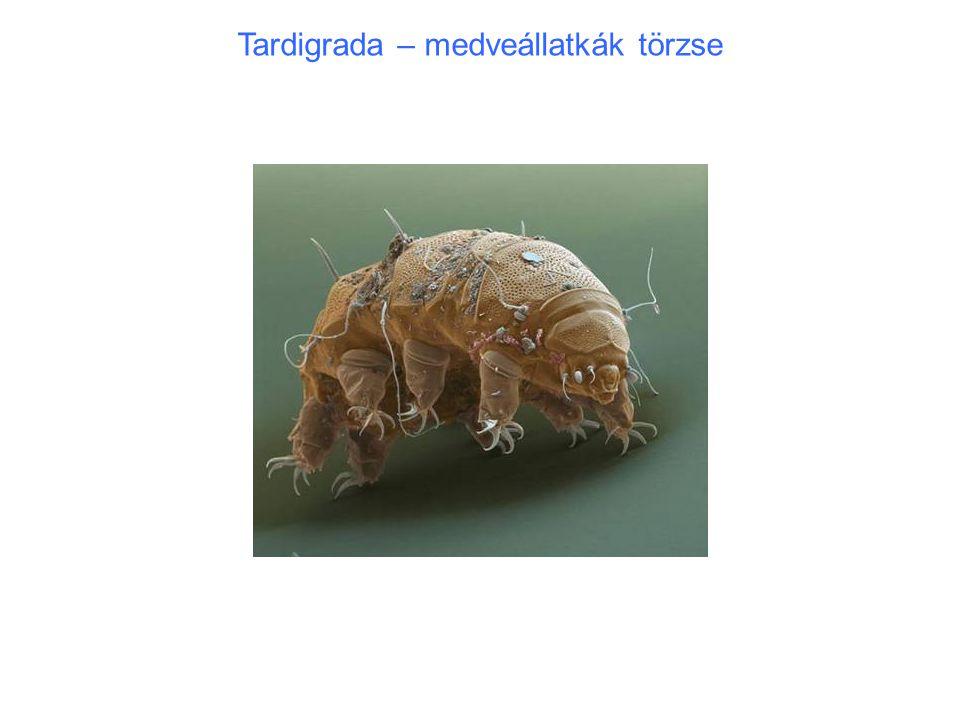 """Onychophora – karmos féreglábúak törzse Név: lábak végén kemény, páros karmok (mozgathatók) 14–200 mm testhossz, szelvényezett test Kutikula felszínén mikro-mintázat bársonyos felszínt ad (""""velvet worms ) Vedlés: kutikulát részletekben, nem egyben veti le Mozgás: hernyókra emlékeztet, Testen hosszában összehúzódási hullám fut végig Lábakat ezzel összhangban emelik lassú mozgás: < 1 cm / sec 14 – 43 lábpár Bőrizomtömlő, izomzat: körkörös, hosszanti és ferde izomzat, simaizmokból."""
