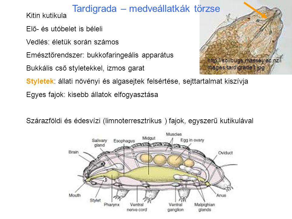 Egy nőstény őslégcsöves testének hosszmetszete Csáp (gyűrűzött, kontraktilis) szem orális szemölcs hajlott karmok hasi idegtörzsek agy nyelőcső nyálmirigy ragasztómirigy bél petefészek pete méh ivarnyílás végbélnyílás Onychophora – karmos féreglábúak törzse Féregláb: tagolatlan bőrizomtömlővel mozgatja
