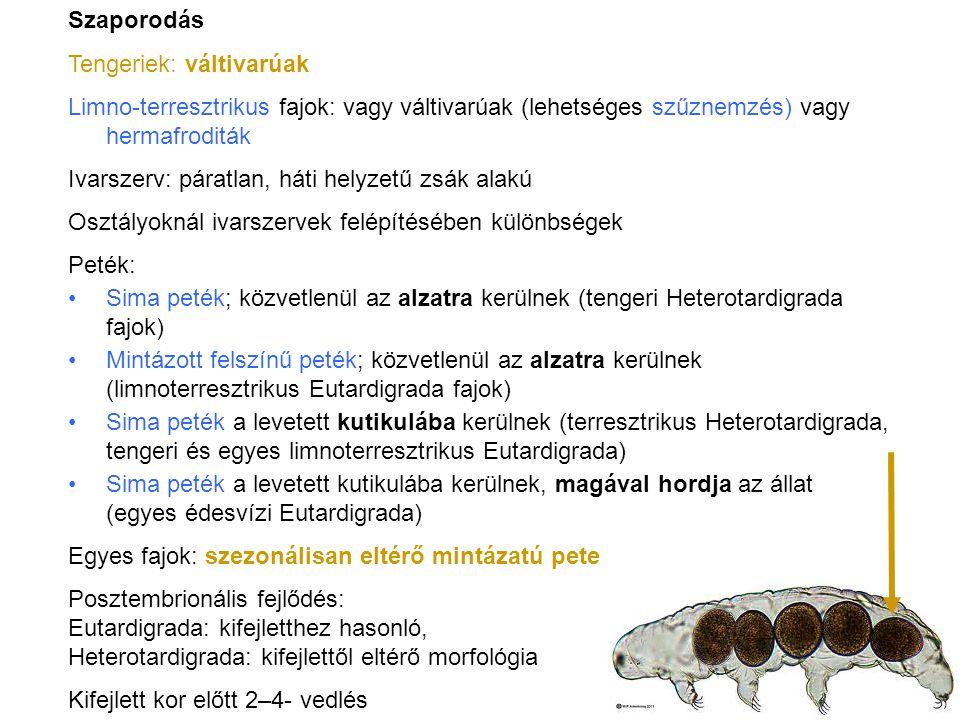 Táplálkozás: Ragadozók Zsákmány: pókok, ászkák, egyenesszárnyúak, termeszek, puhatestűek Módosult nephridium a szájnyílás előtti térben (atrium): ragasztómirigy Ragadós anyag termelése Szájnyílásnál orális papillákon (szájszemölcs) lövelli ki Rugalmas, ragadós, fehér fonalakká szilárdul Zsákmányt mozgásképtelenné teszi Szájához hozzászívja, állkapcsokkal Onychophora – karmos féreglábúak törzse http://www.antoranz.net/CURIOSA/ZBIOR6/C0602/2006021 1-QZD08050_ART37022-07-BBC_A_velvet_worm.jpg felsérti, darabolja, nyálával elfolyósítja A fehérjefonalakat is elfogyasztja!