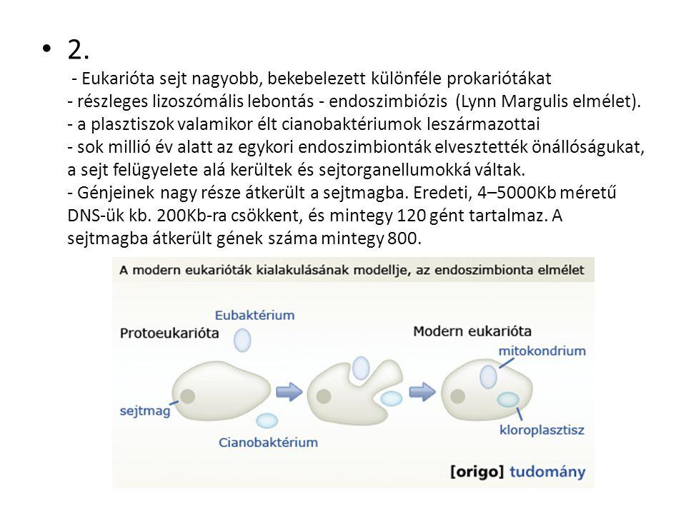 2. - Eukarióta sejt nagyobb, bekebelezett különféle prokariótákat - részleges lizoszómális lebontás - endoszimbiózis (Lynn Margulis elmélet). - a plas