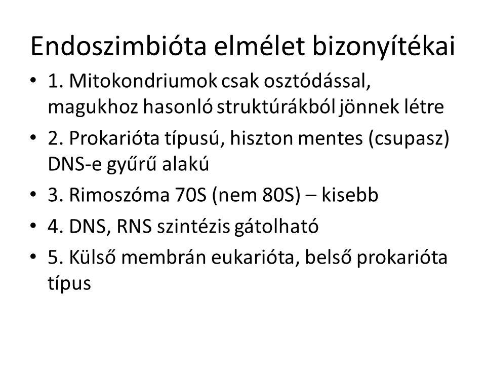 Endoszimbióta elmélet bizonyítékai 1. Mitokondriumok csak osztódással, magukhoz hasonló struktúrákból jönnek létre 2. Prokarióta típusú, hiszton mente