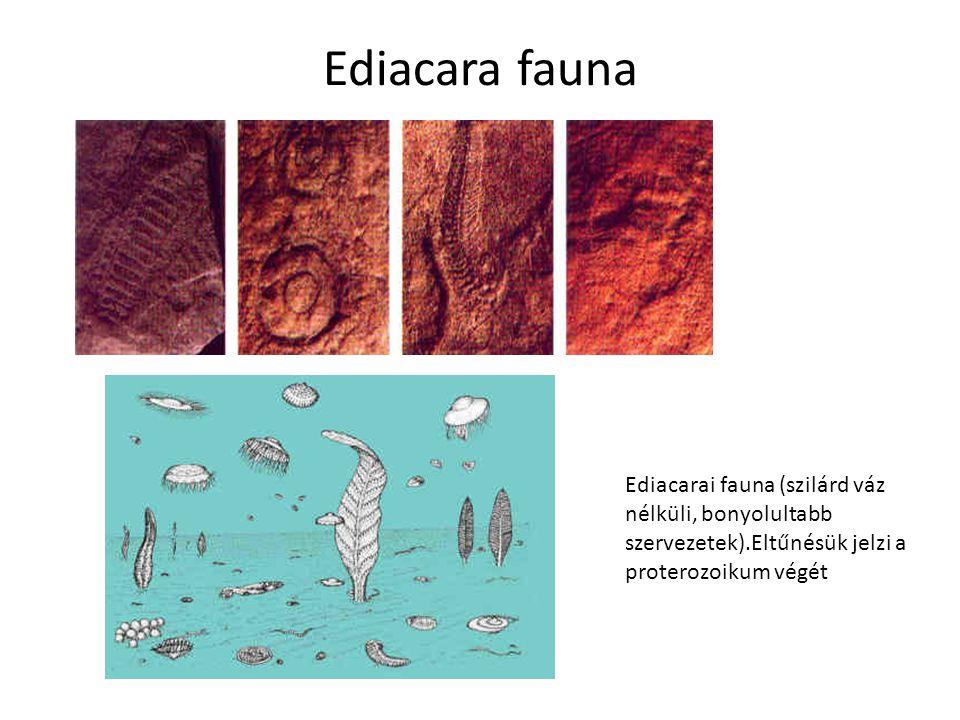 Ediacara fauna Ediacarai fauna (szilárd váz nélküli, bonyolultabb szervezetek).Eltűnésük jelzi a proterozoikum végét