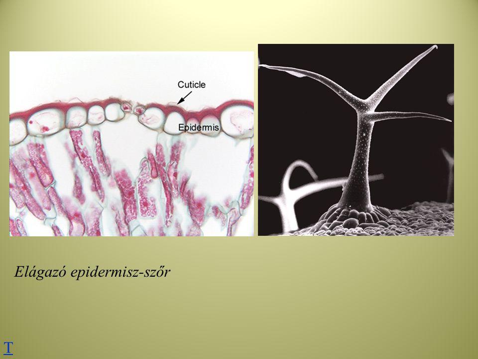 Elágazó epidermisz-szőr T