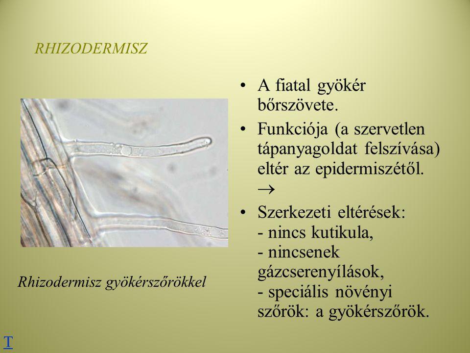 RHIZODERMISZ A fiatal gyökér bőrszövete. Funkciója (a szervetlen tápanyagoldat felszívása) eltér az epidermiszétől.  Szerkezeti eltérések: - nincs ku