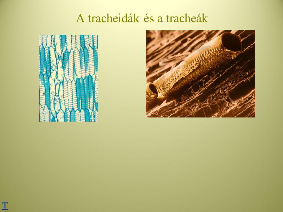 A tracheidák és a tracheák T