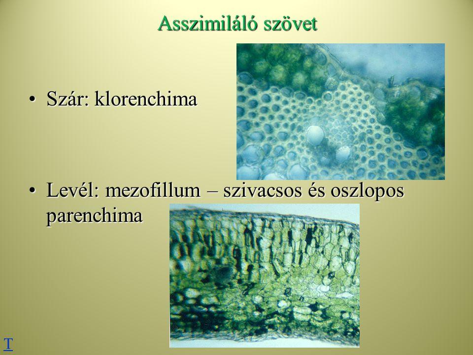 Asszimiláló szövet Szár: klorenchimaSzár: klorenchima Levél: mezofillum – szivacsos és oszlopos parenchimaLevél: mezofillum – szivacsos és oszlopos pa