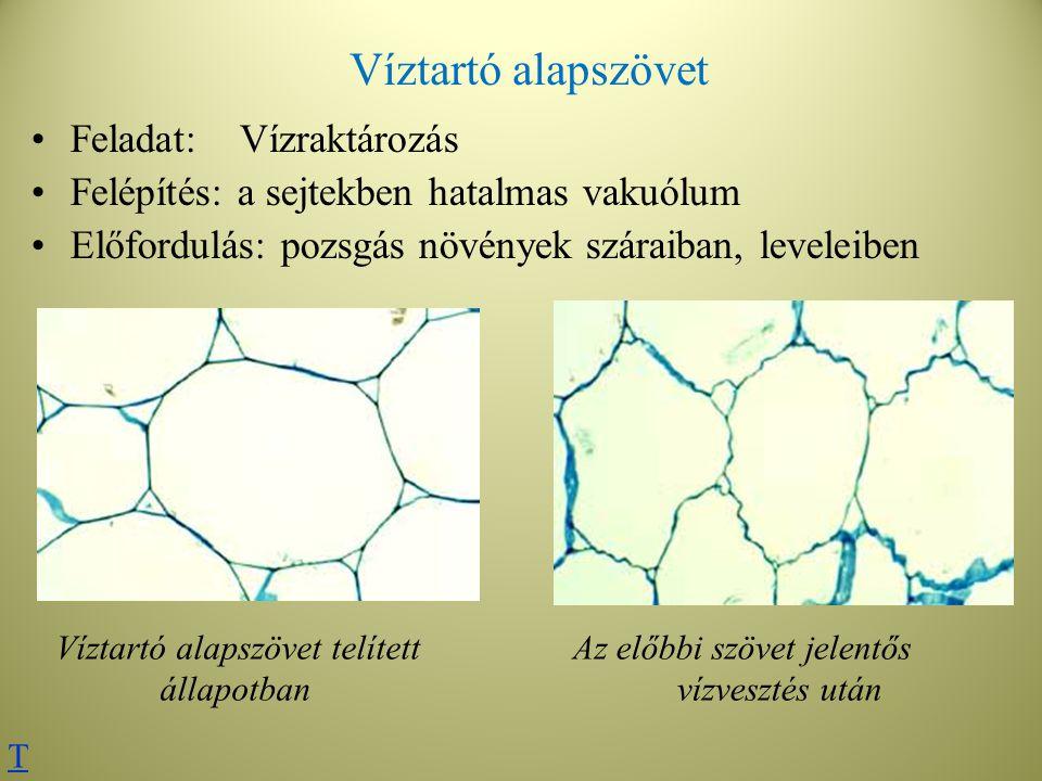 Víztartó alapszövet Feladat:Vízraktározás Felépítés: a sejtekben hatalmas vakuólum Előfordulás: pozsgás növények száraiban, leveleiben Víztartó alapsz