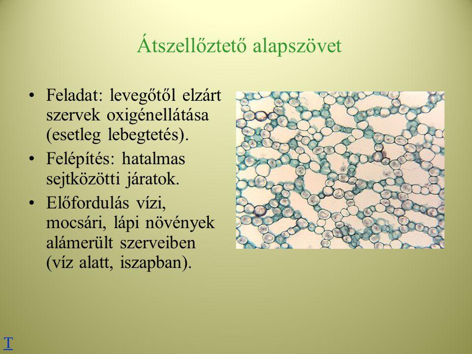 Átszellőztető alapszövet Feladat: levegőtől elzárt szervek oxigénellátása (esetleg lebegtetés). Felépítés: hatalmas sejtközötti járatok. Előfordulás v