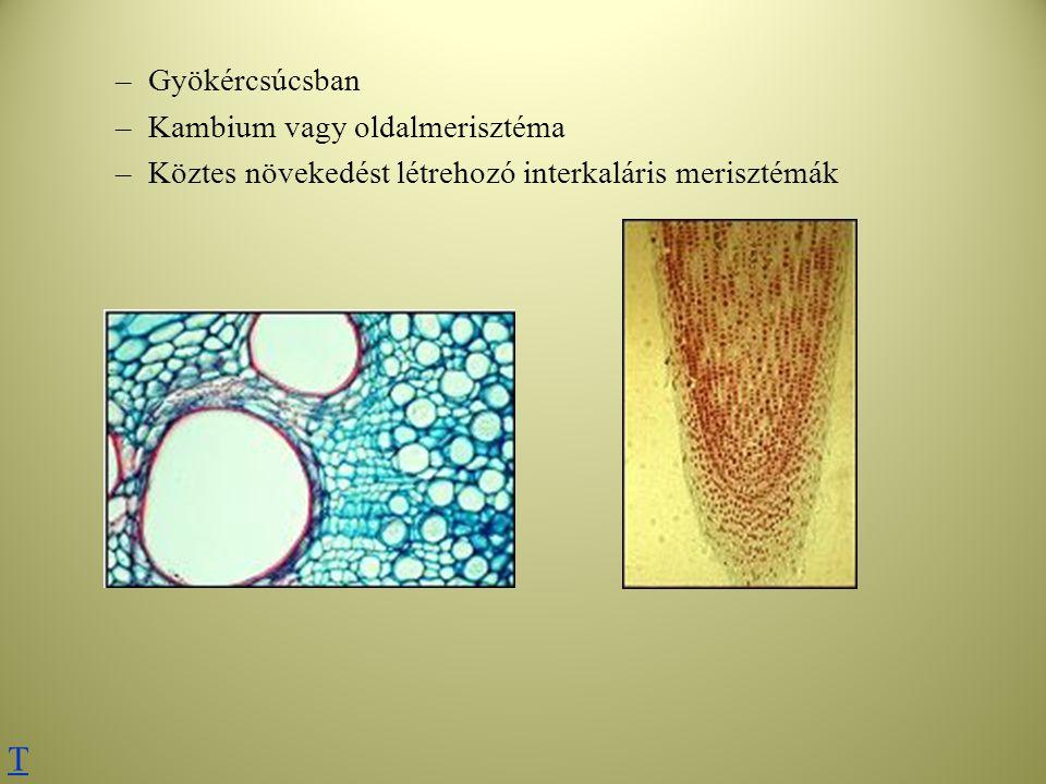 –Gyökércsúcsban –Kambium vagy oldalmerisztéma –Köztes növekedést létrehozó interkaláris merisztémák T