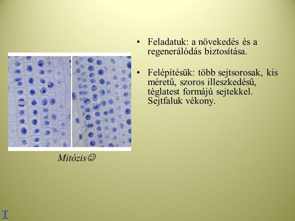 Feladatuk: a növekedés és a regenerálódás biztosítása. Felépítésük: több sejtsorosak, kis méretű, szoros illeszkedésű, téglatest formájú sejtekkel. Se