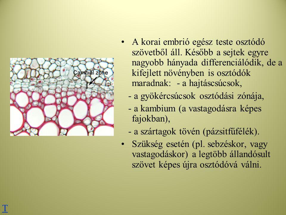 Rostacsövek (x) és kísérősejtek (nyilakkal jelzett, vörösre színeződött sejtmagvú sejtek) keresztmetszeti képe Rostalemez felülnézetben és rostacsövek hosszmetszetben T