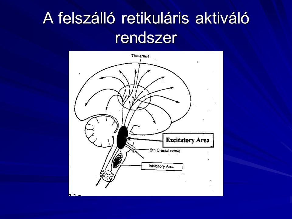 A felszálló retikuláris aktiváló rendszer