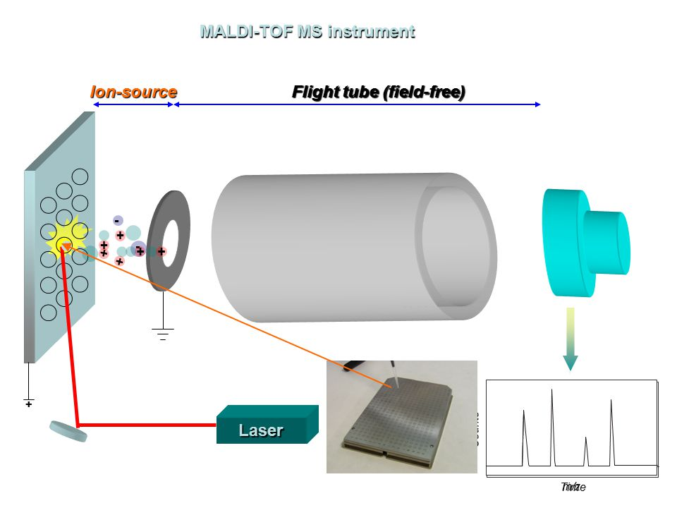 Laser + + - - + + + + Time C o u n t s m/z C o u n t s Ion-source Flight tube (field-free) MALDI-TOF MS instrument +