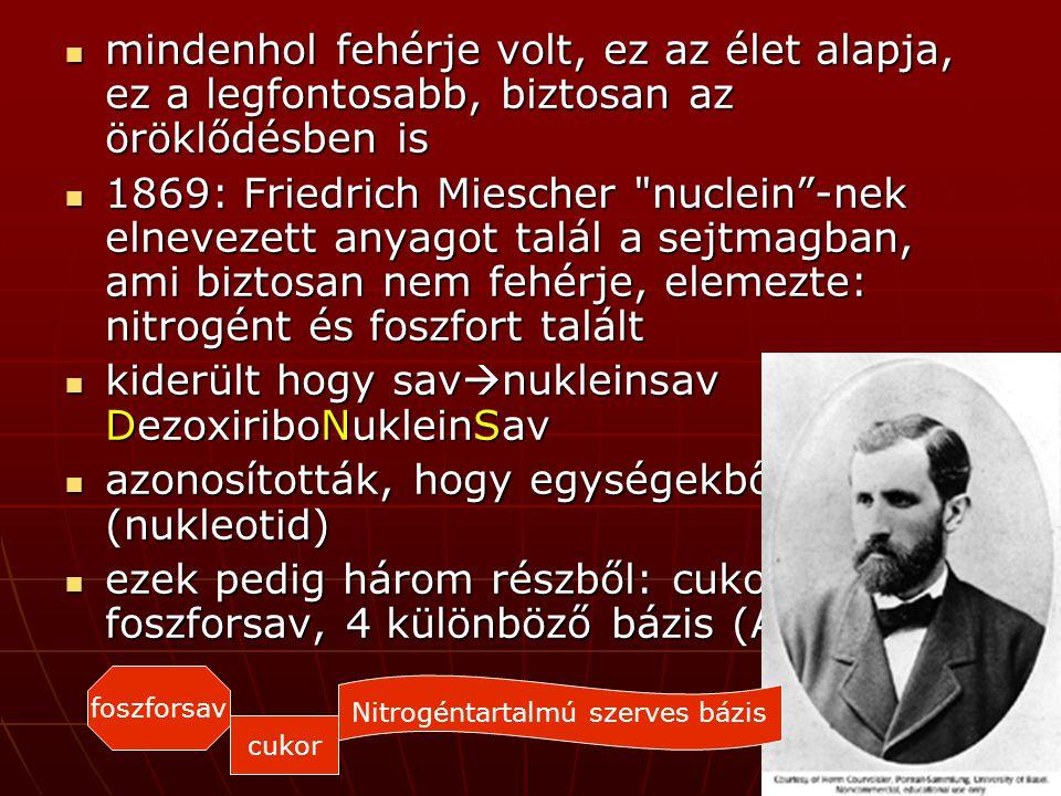 mindenhol fehérje volt, ez az élet alapja, ez a legfontosabb, biztosan az öröklődésben is mindenhol fehérje volt, ez az élet alapja, ez a legfontosabb, biztosan az öröklődésben is 1869: Friedrich Miescher nuclein -nek elnevezett anyagot talál a sejtmagban, ami biztosan nem fehérje, elemezte: nitrogént és foszfort talált 1869: Friedrich Miescher nuclein -nek elnevezett anyagot talál a sejtmagban, ami biztosan nem fehérje, elemezte: nitrogént és foszfort talált kiderült hogy sav  nukleinsav DezoxiriboNukleinSav kiderült hogy sav  nukleinsav DezoxiriboNukleinSav azonosították, hogy egységekből áll (nukleotid) azonosították, hogy egységekből áll (nukleotid) ezek pedig három részből: cukor, foszforsav, 4 különböző bázis (A,G,C,T) ezek pedig három részből: cukor, foszforsav, 4 különböző bázis (A,G,C,T) cukor foszforsav Nitrogéntartalmú szerves bázis