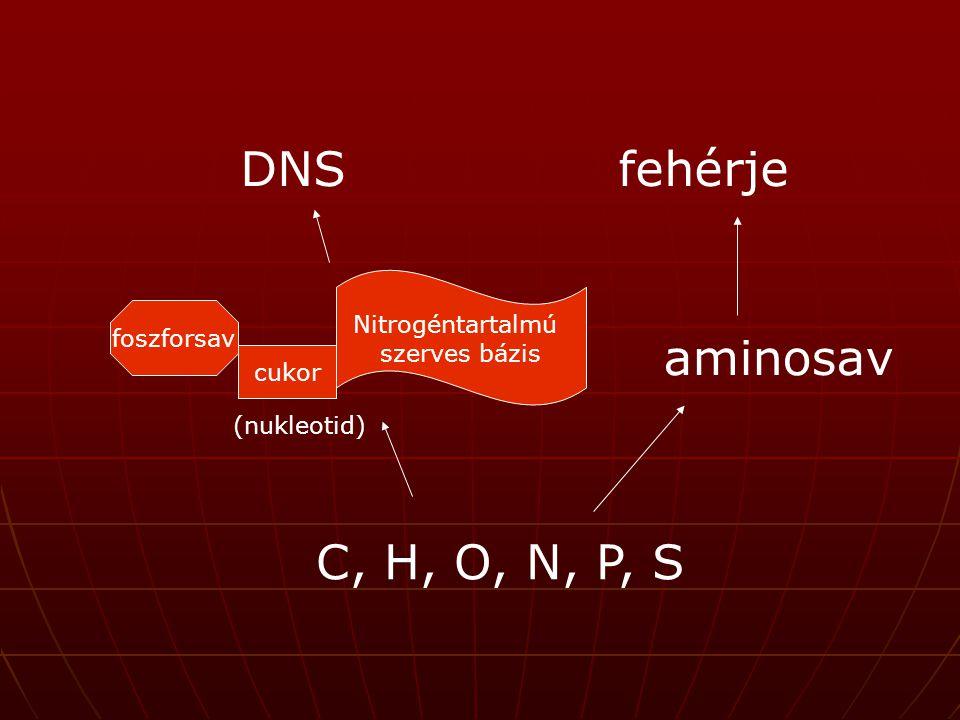 DNSfehérje aminosav C, H, O, N, P, S cukor foszforsav Nitrogéntartalmú szerves bázis (nukleotid)