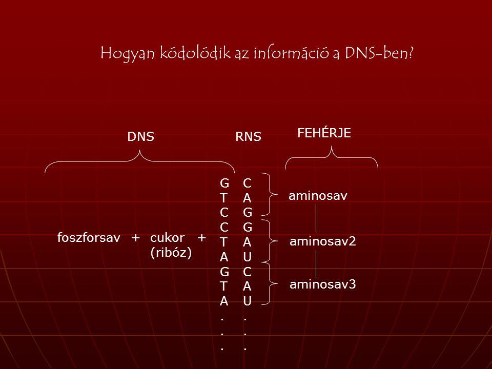 G T C C T A G T A... foszforsav+cukor (ribóz) + aminosav aminosav3 aminosav2 FEHÉRJE DNS Hogyan kódolódik az információ a DNS-ben? C A G G A U C A U..