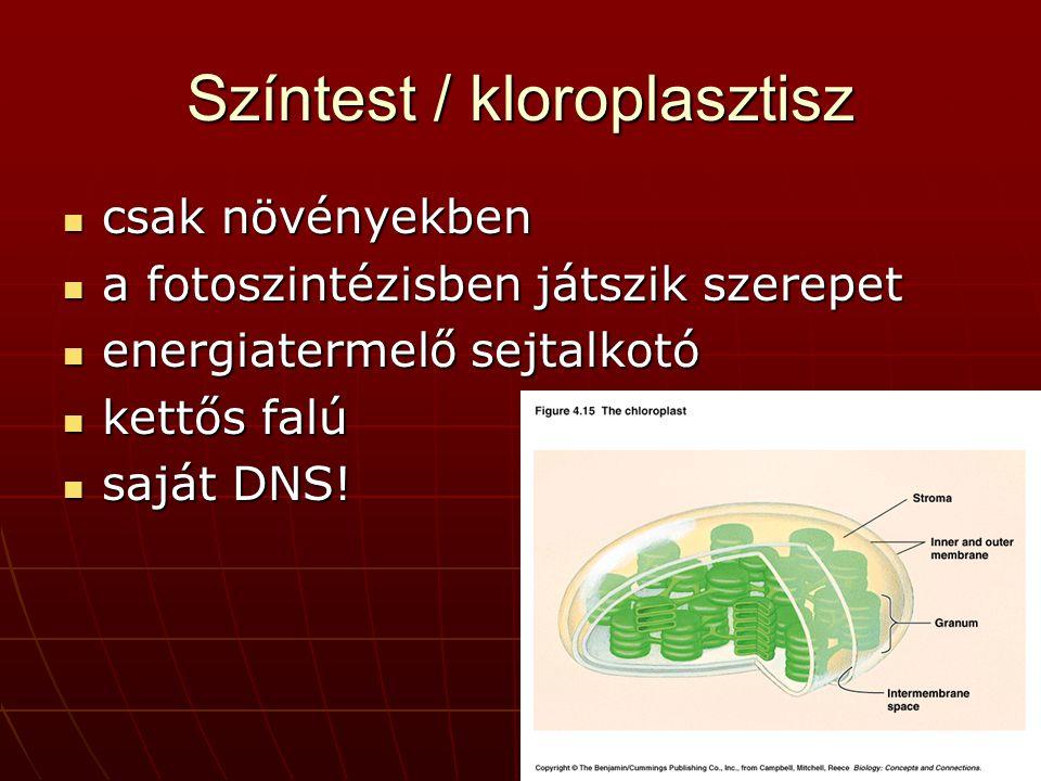 Színtest / kloroplasztisz csak növényekben csak növényekben a fotoszintézisben játszik szerepet a fotoszintézisben játszik szerepet energiatermelő sejtalkotó energiatermelő sejtalkotó kettős falú kettős falú saját DNS.