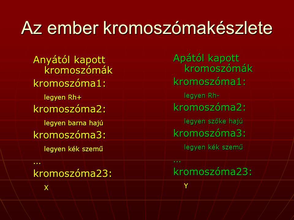 Az ember kromoszómakészlete Anyától kapott kromoszómák kromoszóma1: legyen Rh+ kromoszóma2: legyen barna hajú kromoszóma3: legyen kék szemű …kromoszóma23:X Apától kapott kromoszómák kromoszóma1: legyen Rh- kromoszóma2: legyen szőke hajú kromoszóma3: legyen kék szemű …kromoszóma23:Y