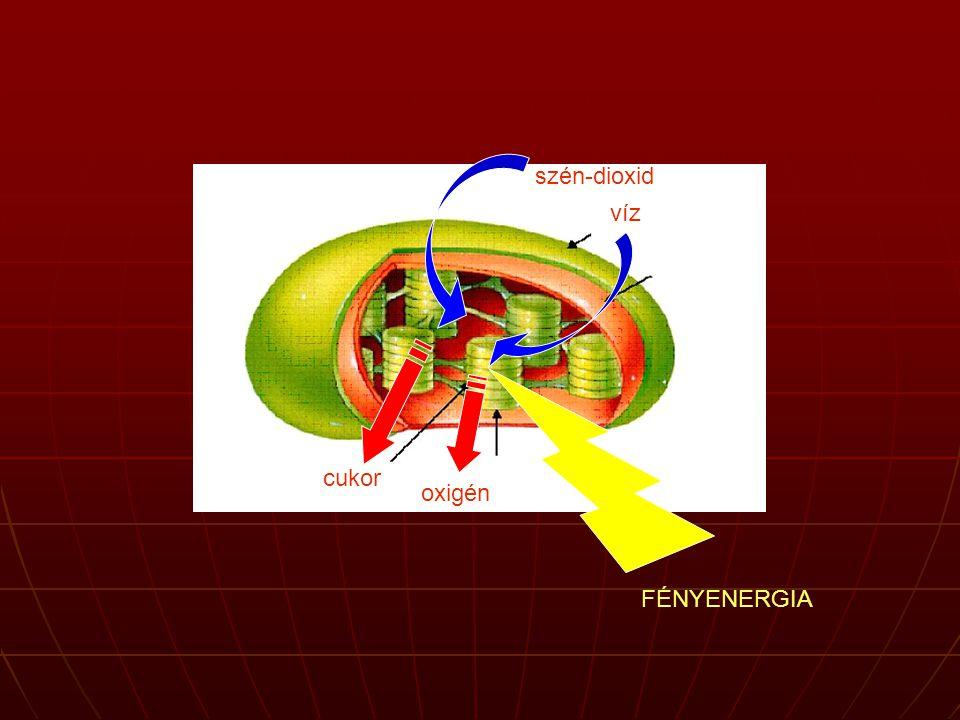 A DNS Minden sejt sejtmagjában van Minden sejt sejtmagjában van szerepe: az élőlény genetikai információját hordozó anyag szerepe: az élőlény genetikai információját hordozó anyag örökítőanyagörökítőanyag meghatározza a fehérjéket DNS  RNS  fehérje  tulajdonságmeghatározza a fehérjéket DNS  RNS  fehérje  tulajdonság Az információ nemcsak a fehérjék szerkezetére vonatkozik, hanem módot nyújt azok szintézisének mennyiségi és időbeli szabályozására is, így végső soron a sejtek csaknem valamennyi funkciója a DNS ellenőrzése alatt áll.