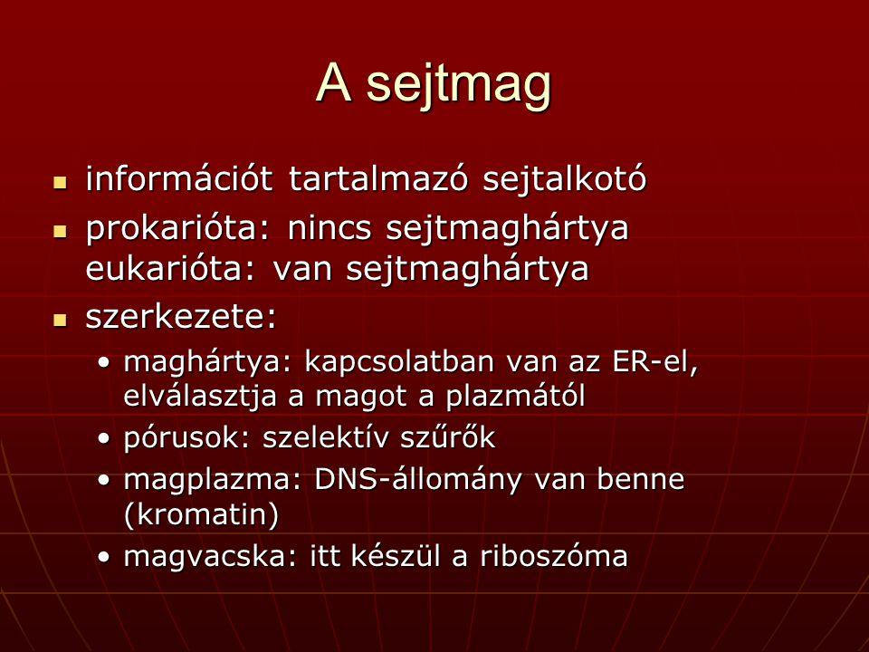 A sejtmag információt tartalmazó sejtalkotó információt tartalmazó sejtalkotó prokarióta: nincs sejtmaghártya eukarióta: van sejtmaghártya prokarióta: nincs sejtmaghártya eukarióta: van sejtmaghártya szerkezete: szerkezete: maghártya: kapcsolatban van az ER-el, elválasztja a magot a plazmátólmaghártya: kapcsolatban van az ER-el, elválasztja a magot a plazmától pórusok: szelektív szűrőkpórusok: szelektív szűrők magplazma: DNS-állomány van benne (kromatin)magplazma: DNS-állomány van benne (kromatin) magvacska: itt készül a riboszómamagvacska: itt készül a riboszóma