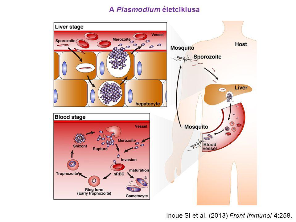 """A Plasmodium elleni immunválasz fő komponensei makrofágok """"clearance"""