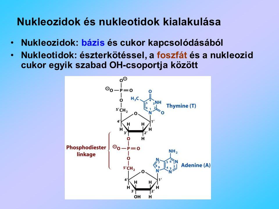 Nukleozidok és nukleotidok kialakulása Nukleozidok: bázis és cukor kapcsolódásából Nukleotidok: észterkötéssel, a foszfát és a nukleozid cukor egyik szabad OH-csoportja között