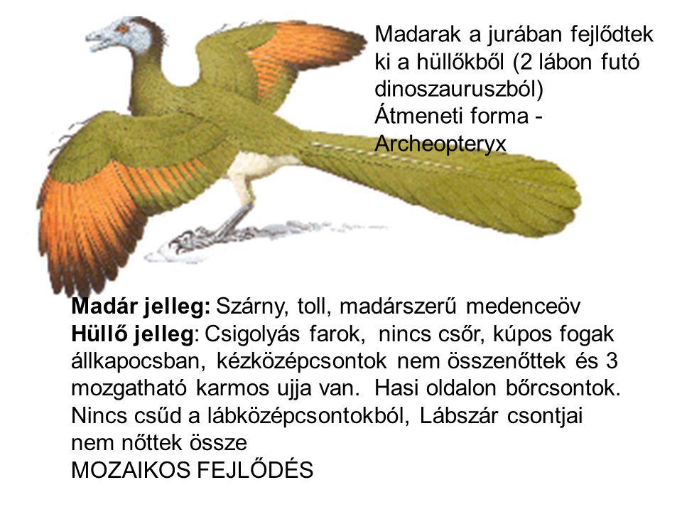 Madarak a jurában fejlődtek ki a hüllőkből (2 lábon futó dinoszauruszból) Átmeneti forma - Archeopteryx Madár jelleg: Szárny, toll, madárszerű medence