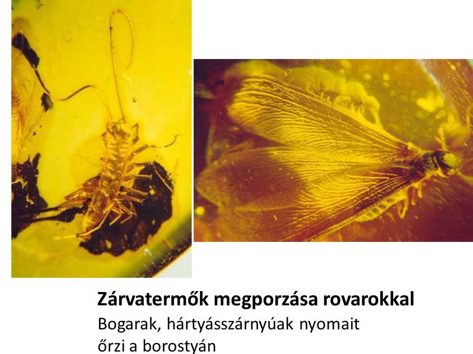 Zárvatermők megporzása rovarokkal Bogarak, hártyásszárnyúak nyomait őrzi a borostyán