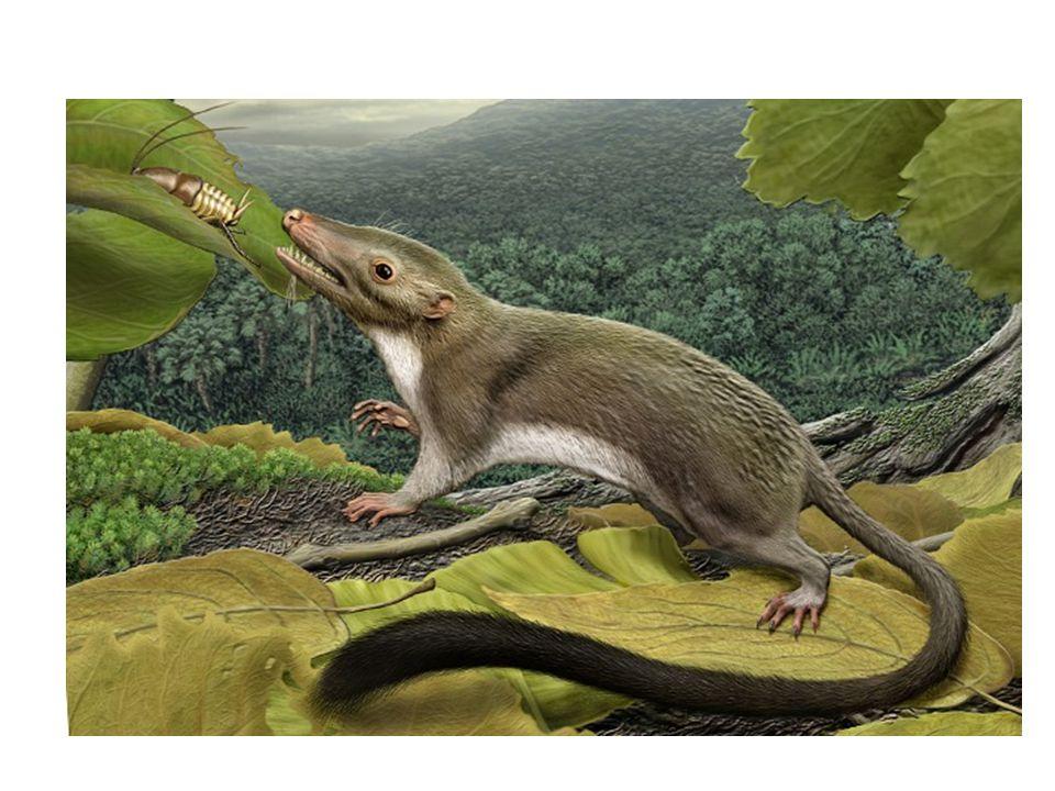 A Maotherium asiaticus A fogain szimmetrikusan elhelyezkedő gumók voltak.