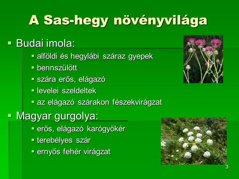 3 A Sas-hegy növényvilága  Budai imola:  alföldi és hegylábi száraz gyepek  bennszülött  szára erős, elágazó  levelei szeldeltek  az elágazó szá