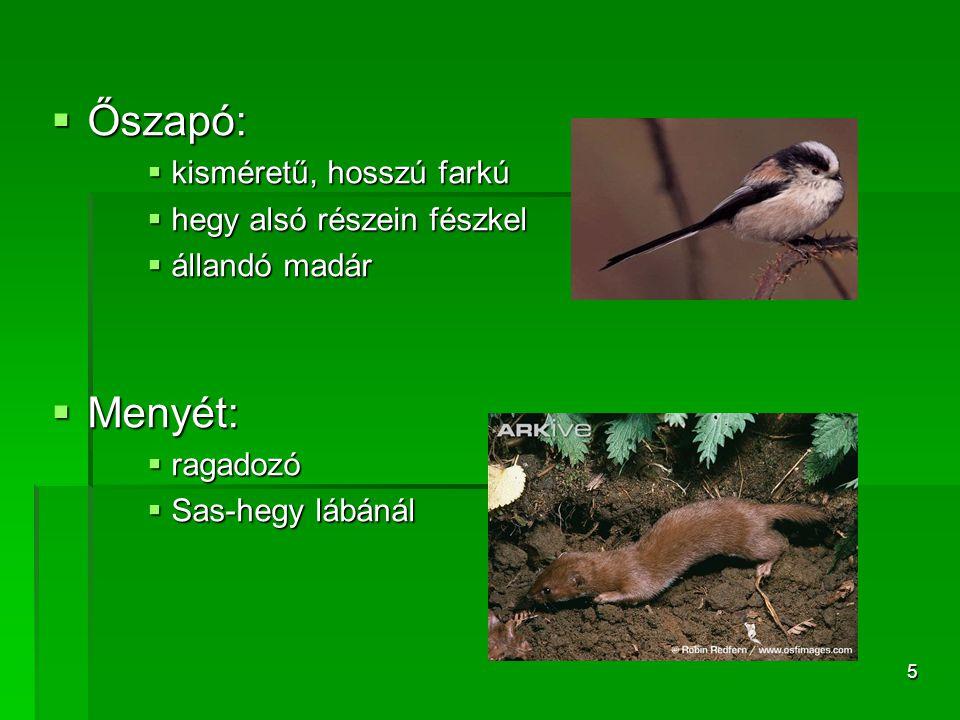 5  Őszapó:  kisméretű, hosszú farkú  hegy alsó részein fészkel  állandó madár  Menyét:  ragadozó  Sas-hegy lábánál
