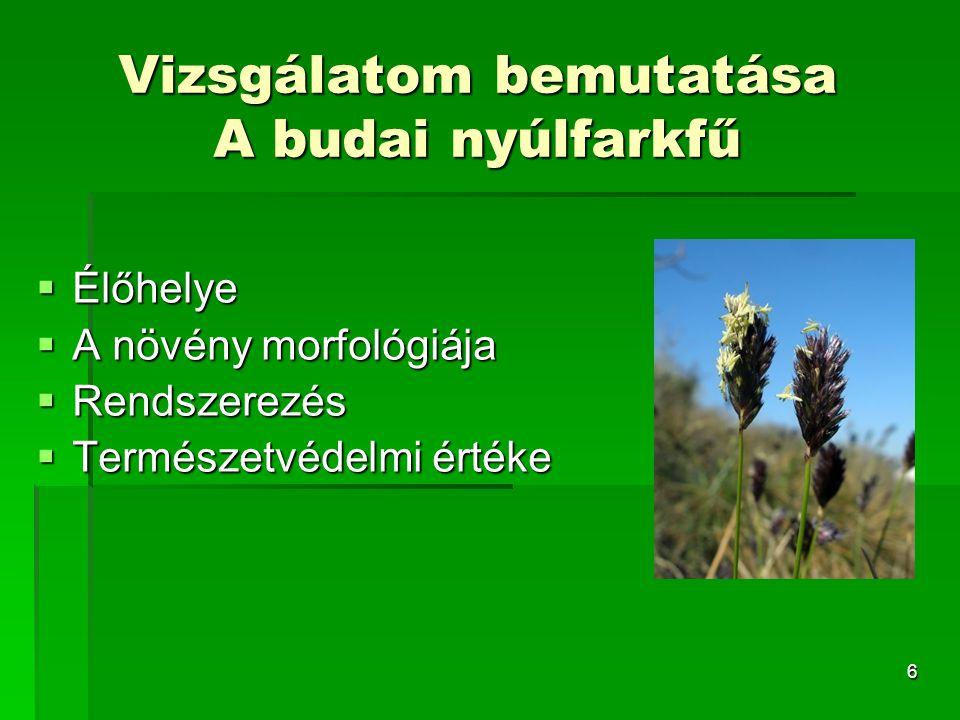 6 Vizsgálatom bemutatása A budai nyúlfarkfű  Élőhelye  A növény morfológiája  Rendszerezés  Természetvédelmi értéke