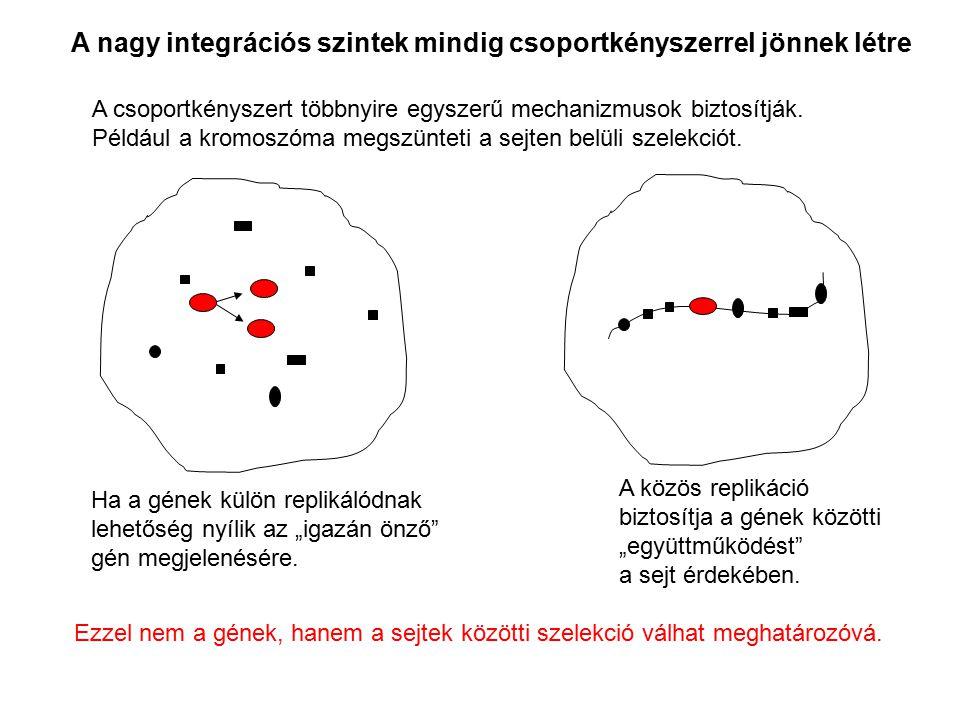 """A közös replikáció biztosítja a gének közötti """"együttműködést"""" a sejt érdekében. Ha a gének külön replikálódnak lehetőség nyílik az """"igazán önző"""" gén"""