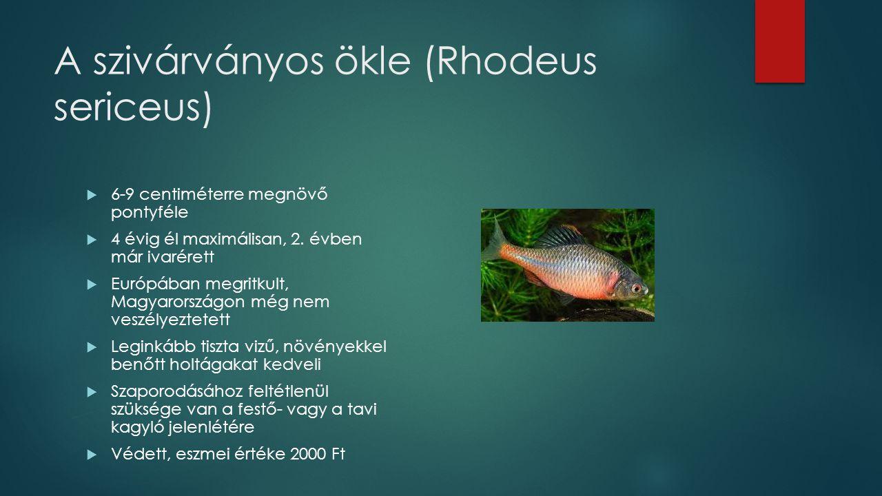 A szivárványos ökle (Rhodeus sericeus)  6-9 centiméterre megnövő pontyféle  4 évig él maximálisan, 2. évben már ivarérett  Európában megritkult, Ma