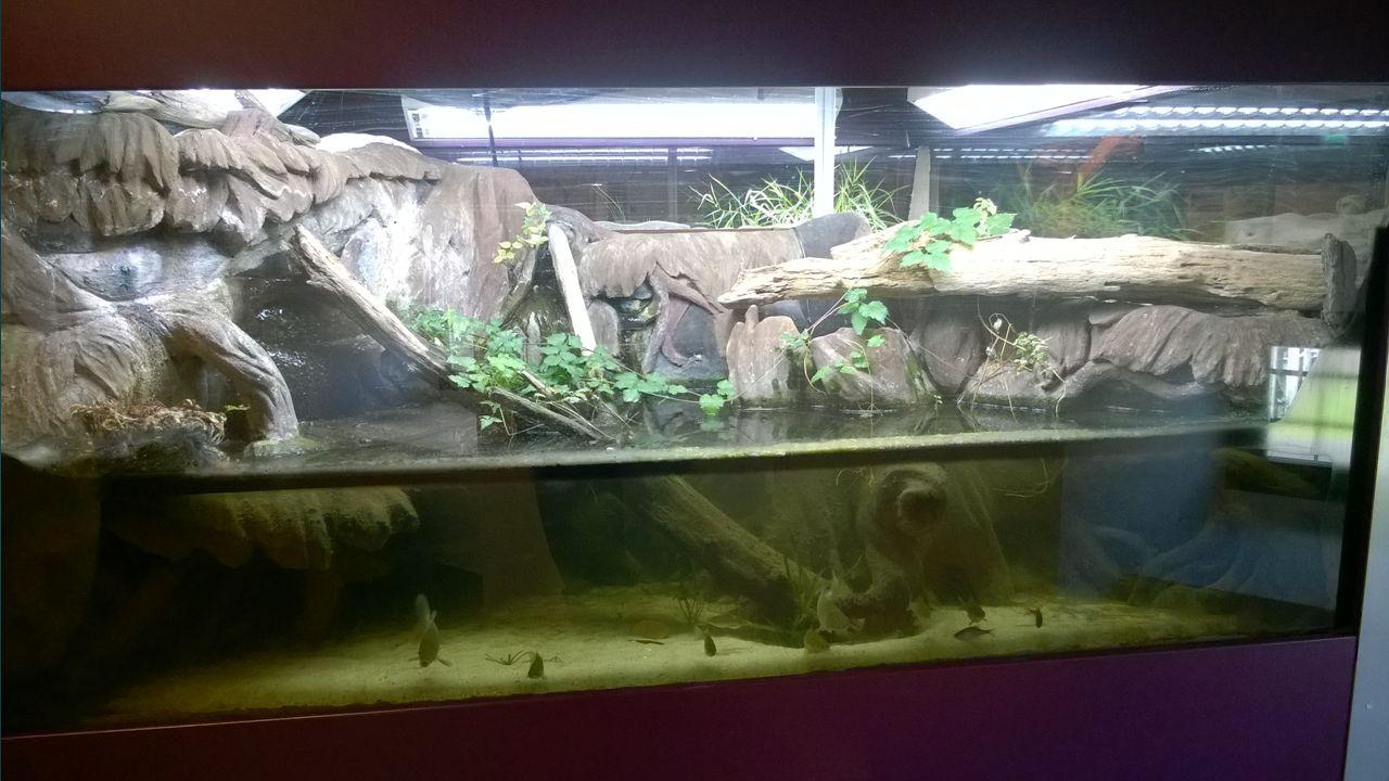 A lápi póc (Umbra krameri)  Szerepel a Vörös Listán, fokozottan védett (100.000 Ft)  Magyarországon veszélyeztetett, főként élőhelyei beszűkűlése és az agresszívan terjeszkedő amurgéb miatt (táplálékkonkurens)  Esociformes rend, Umbridae család –>ragadozók  Endemikus (bennszülött faj) a Kárpát-medencében  Jellemzően mocsarak, növényzettel sűrűn benőtt vizek az élőhelyei  Régen akkora mennyiségben volt jelen, hogy takarmányként hasznosították  Mára megmentésére programokat indítottak…
