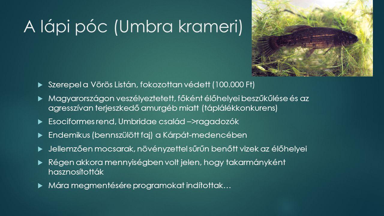 A lápi póc (Umbra krameri)  Szerepel a Vörös Listán, fokozottan védett (100.000 Ft)  Magyarországon veszélyeztetett, főként élőhelyei beszűkűlése és