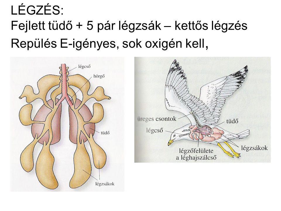 LÉGZÉS: Fejlett tüdő + 5 pár légzsák – kettős légzés Repülés E-igényes, sok oxigén kell,