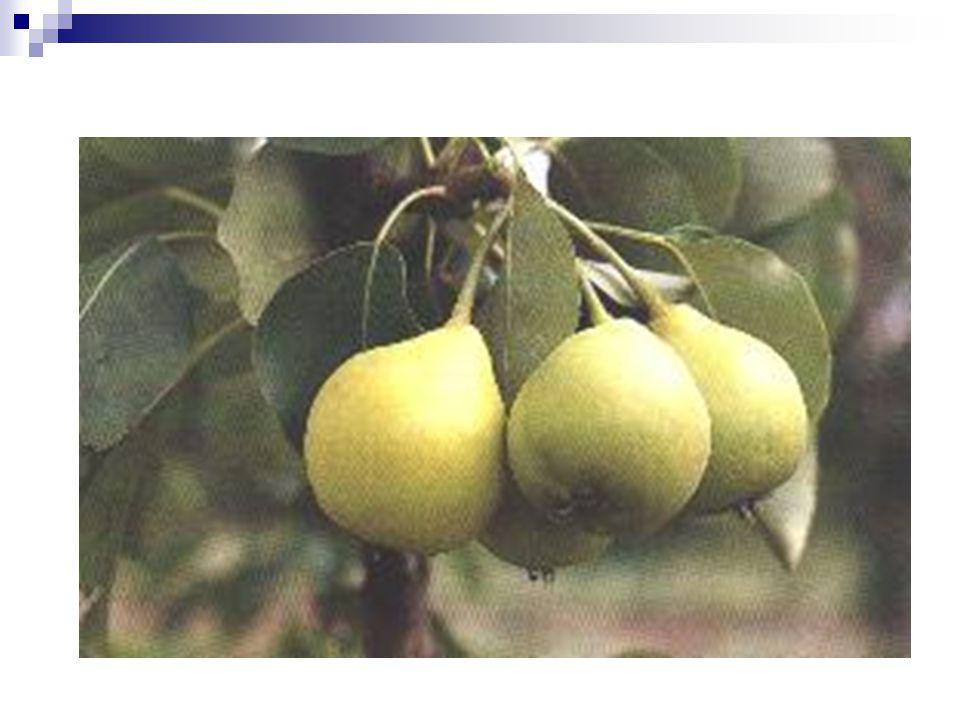 Körte Bonyolult öröklődésű, a negatív és pozitív tulajdonságok kapcsoltan öröklődnek Pl: Bosc kobak nem örökíti a jó ízét, de a gyenge tálállóképességet igen A gyümölcstömeg poligénikus öröklődésű, recesszív tulajdonság, utódok általában kisebbek.