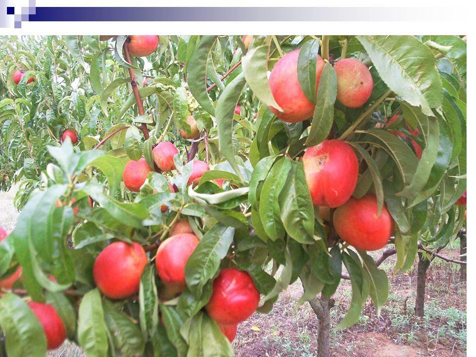 Az őszibarack öröklődésmenete egyszerűbb Legtöbb tulajdonsága monogénes öröklődésű Pl: recesszíven öröklődik a sárga gyümölcshús, a kopasz gyümölcs, a duránciság, a himsterilitás Több génhez kötött tulajdonság a termőképesség, a fagytűrés, a gyümölcs húskonzisztenciája