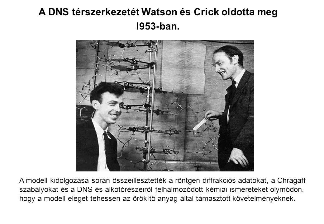A DNS térszerkezetét Watson és Crick oldotta meg l953-ban. A modell kidolgozása során összeillesztették a röntgen diffrakciós adatokat, a Chragaff sza