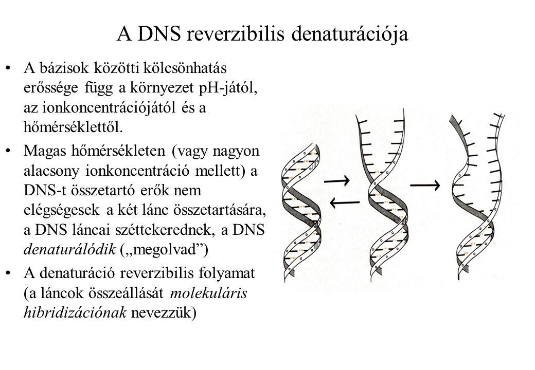 A DNS reverzibilis denaturációja A bázisok közötti kölcsönhatás erőssége függ a környezet pH-jától, az ionkoncentrációjától és a hőmérséklettől. Magas