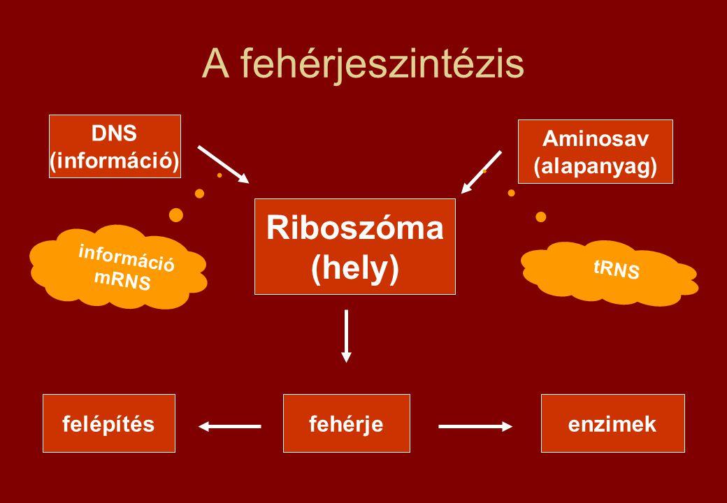 A fehérjeszintézis DNS (információ) Riboszóma (hely) Aminosav (alapanyag) fehérjefelépítésenzimek információ mRNS tRNS