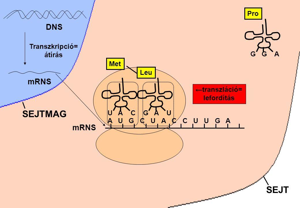 SEJT SEJTMAG DNS Transzkripció= átírás mRNS A U G C U A C C U U G A mRNS U A C Met G G A Pro G A U Leu ← ←transzláció= lefordítás