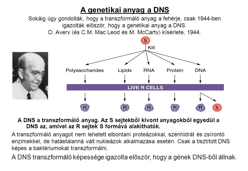 Sokáig úgy gondolták, hogy a transzformáló anyag a fehérje, csak 1944-ben igazolták először, hogy a genetikai anyag a DNS. O. Avery (és C.M. Mac Leod