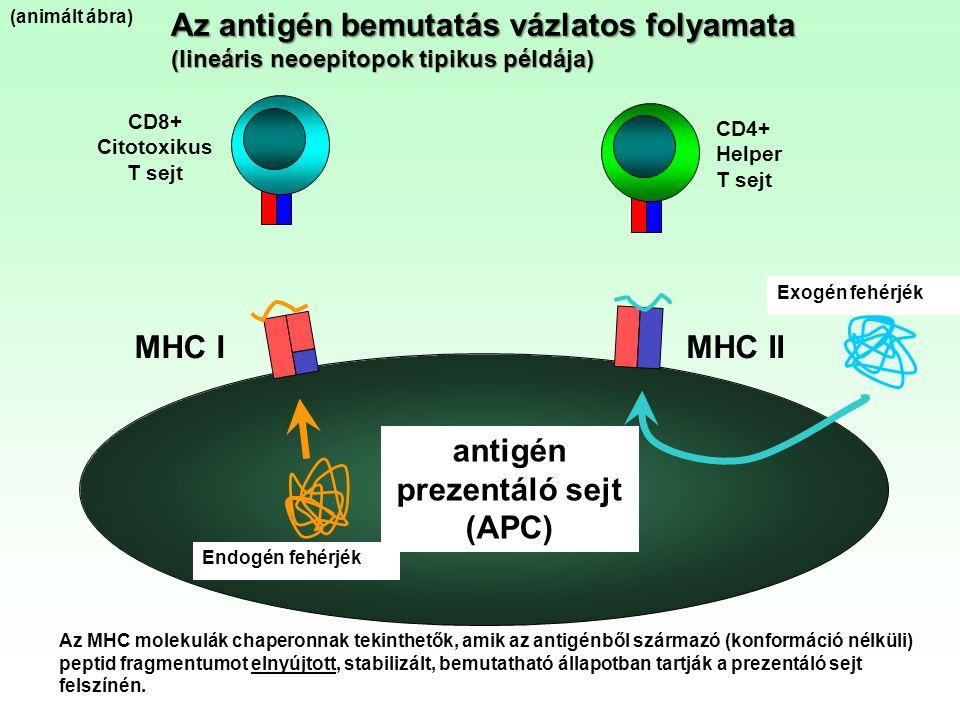 Az antigén bemutatás vázlatos folyamata (lineáris neoepitopok tipikus példája) antigén prezentáló sejt (APC) MHC IMHC II CD8+ Citotoxikus T sejt CD4+