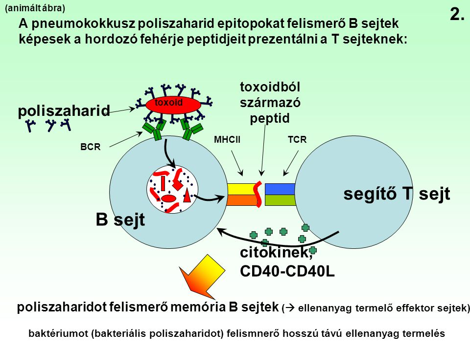 B sejt poliszaharid segítő T sejt BCR TCRMHCII citokinek, CD40-CD40L toxoid toxoidból származó peptid A pneumokokkusz poliszaharid epitopokat felismer
