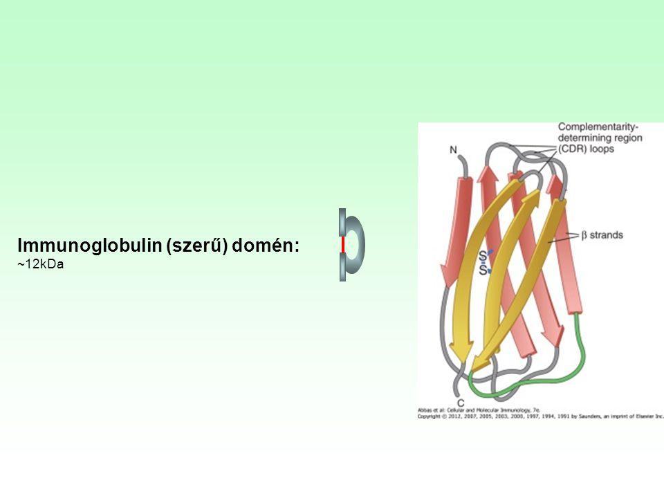 Immunoglobulin (szerű) domén: ~12kDa