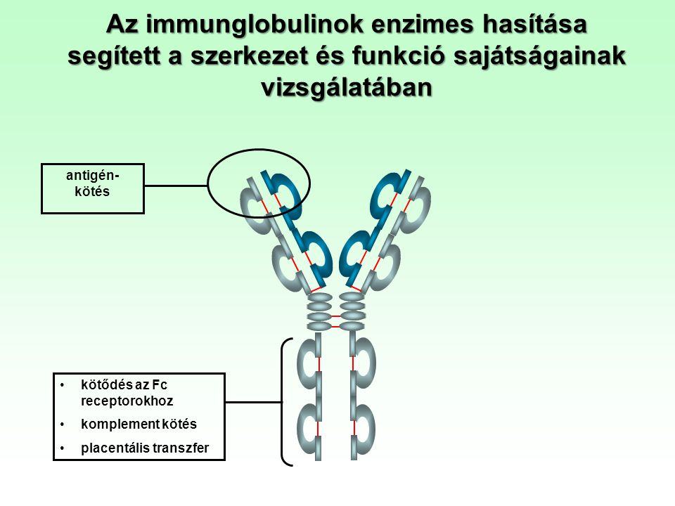 Az immunglobulinok enzimes hasítása segített a szerkezet és funkció sajátságainak vizsgálatában antigén- kötés kötődés az Fc receptorokhoz komplement