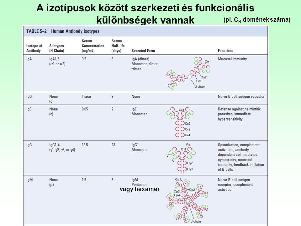 A izotípusok között szerkezeti és funkcionális különbségek vannak vagy hexamer (pl. C H domének száma)